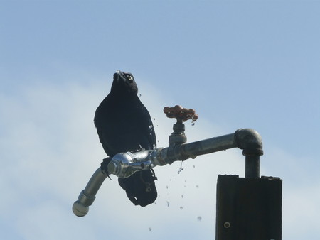 Water dribbles from a crows mouth and across its body after taking a drink from a spigot left turned on at a beach shower. Banco de Imagens