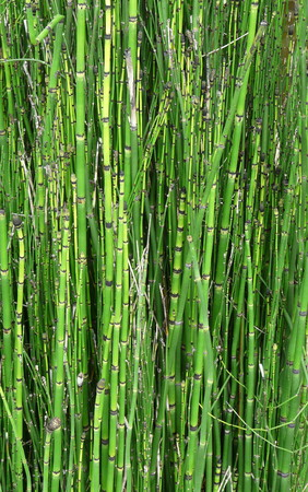 A close-up of a stand of bamboo plants, stems, and joints provides a natural green background. Banco de Imagens