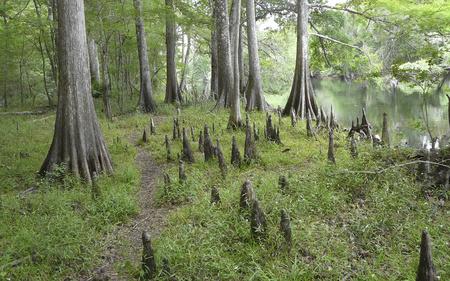 This dirt path among numerous cypress trees and knees on Rum Island parallels the Santa Fe River, Fort White, Florida.