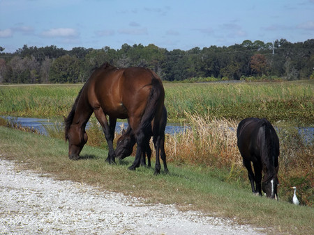 Wild Horses Sweetwater Wetlands Gainesville Florida. Wild Florida Cracker Horses, descendants of Spanish horses, graze alongside a cattle egret, at Sweetwater Wetlands, Gainesville, Florida. Banco de Imagens
