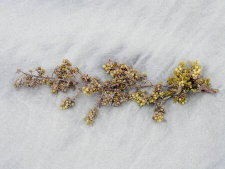 Sargassum seaweed washed up on a Georgia beach against a background of white sand that is a little dirty and wind-blown from a storm.