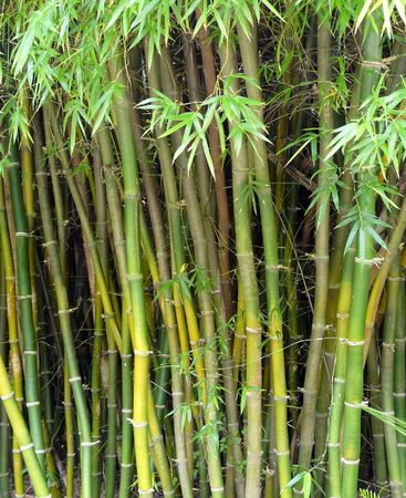 A close-up of a stand of Buddah's Belly bamboo plants, stems, leaves, and joints provides a natural green background.