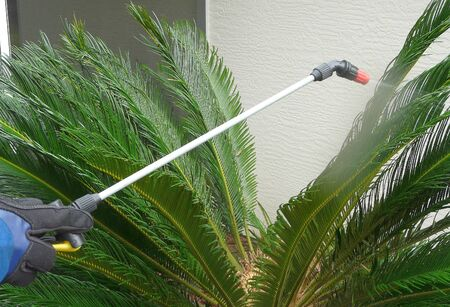 This Sago Palm is infested with Asian Cycad Scale insects that appear as white spots. The homeowner is treating it with a horticultural oil spray.