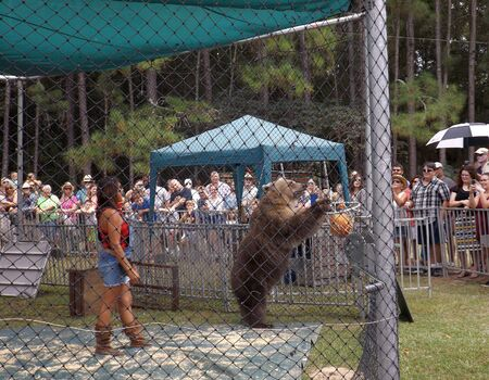 WILLISTON, FLORIDA-SEPTEMBER 21, 2019: At Two Tails Ranch, an American Brown Bear from Bearadise Ranch puts a basketball in a hoop. Bearadise bears have been used in movies, TV shows, and commercials. 報道画像