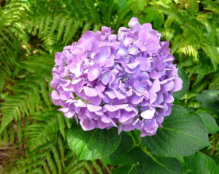 Closeup of a single bloom on a pink to lavender Mophead Hydrangea, surrounded by its lush green foliage and ferns. 写真素材