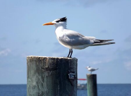 A Royal Tern in winter plumage sits on a post at Cedar Key, Florida, on the Gulf of Mexico. A boat and another tern are in the background.