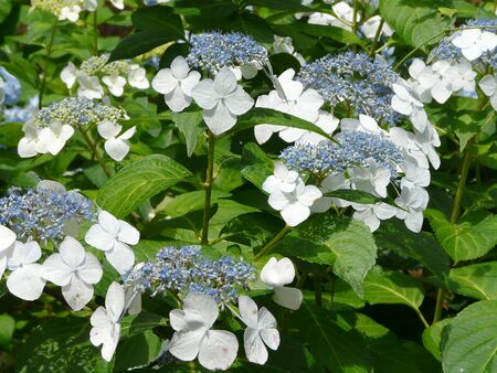 Closeup of showy white sterile flowers on a big-leaf or French Lacecap Hydrangea, surrounded by its fertile blue flowers. 写真素材