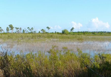 Marsh vegetation and white tarflowers in Savannas Preserve State Park, which preserves freshwater marshes, or savannas, along Florida's east coast. 写真素材