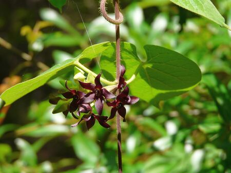 Also known as the Florida Spiny Pod, this Florida Milkvine is endangered in the state. A plant in the milkweed family, its flowers are a beautiful burgundy color. 写真素材