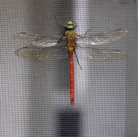 This beautiful red and green dragonfly, a Comet Darner, is clinging vertically to the screen of a home during the fall.