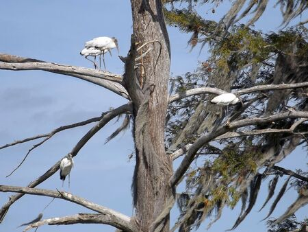 Threatened wood storks are standing in trees with Spanish moss at Sweetwater Wetlands Park, Gainesville, Florida, created to filter water and improve its quality.