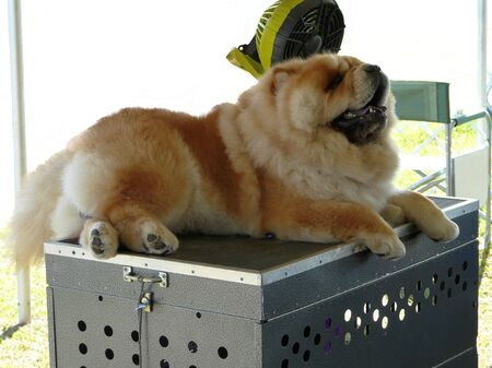 A Chow Chow pet dog competing at a local Florida dog show on a hot day sits on a traveling metal carrier in front of a fan to stay cool.