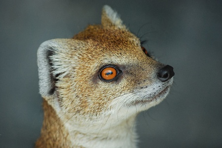 Portrait of a Yellow Mongoose standing on hind legs photo