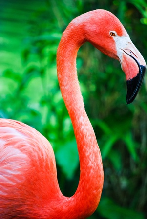 A vivid closeup shot of a gorgeous pink flamingo photo