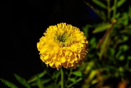 tagetes: yellow Marigold flower in garden, macro