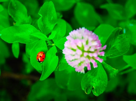 Lady bug and blossoming clover in garden Stock Photo - 20043678