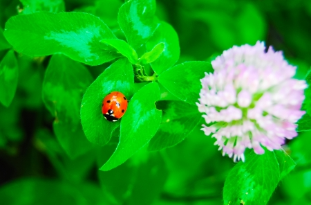 Lady bug and blossoming clover in garden photo