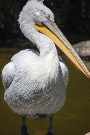 big pelican stands, head in profile, macro photo