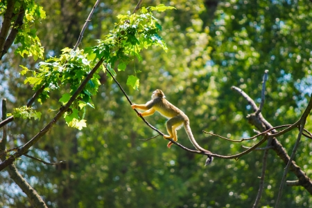 A Yellow monkey jumping up on a tree branch photo