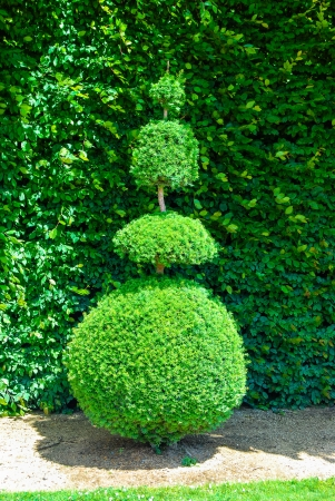Topiary tree, formal garden, figure evergreen bush