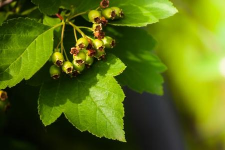 green berry of arrowwood in sunlight in spring photo