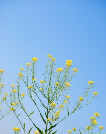 yellow rapeseed oil (canola)  on sunny day against sky photo