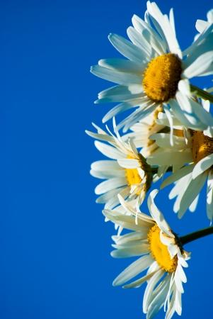 madeliefjes tegen blauwe hemel op een zonnige dag
