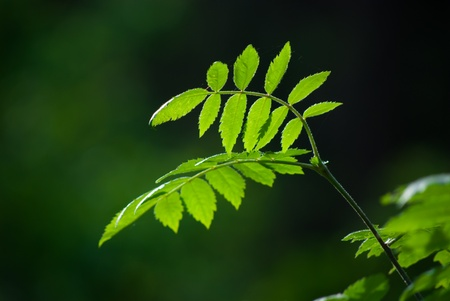 ash tree: young Sorbus leaves on a branch in sunlight