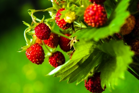 Ripe wild strawberry in green forest close-up photo