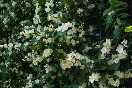 jessamine: cespuglio di bianchi fiori di gelsomino e foglie verdi