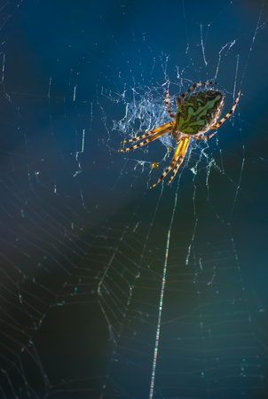 morning dew: big beautiful spider on the web, macro Stock Photo