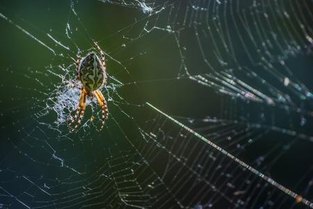 big beautiful spider on the web, macro photo