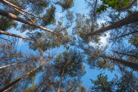 pines in the forest seen from ground up Stock Photo - 21341742