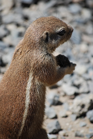 ground squirrel stands on hind legs eating a nut photo