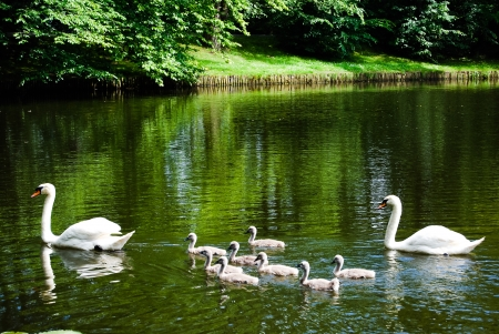 Swan mother and father with kids swim in pond with lilies