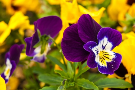 tricolor violet flower in park, macro photo
