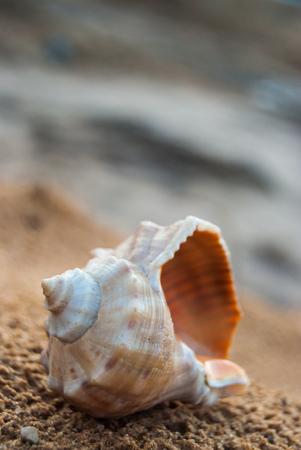 beautiful big seashell on the beach in cool shade photo