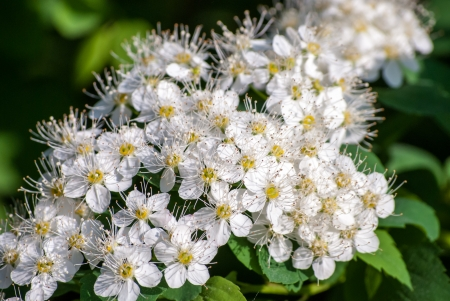 White Spiraea (Meadowsweet) Flowers, brightly lit in spring Reklamní fotografie