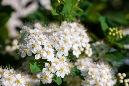 White Spiraea (Meadowsweet) Flowers, brightly lit in spring Stock Photo