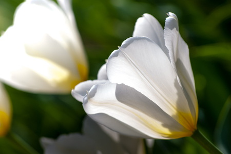 brightly lit: white tulips in spring, outdoors brightly lit