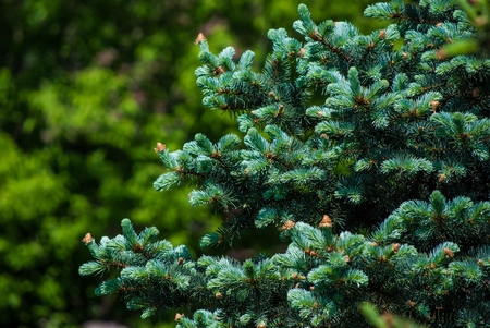 young pine tree with cones photo