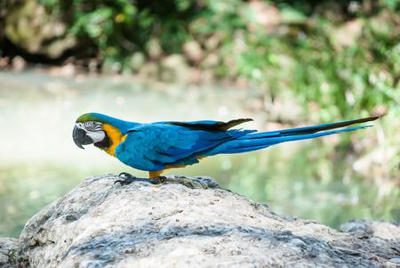 ararauna: roja (Ara ararauna) loro azul y amarillo en una piedra en el medio silvestre