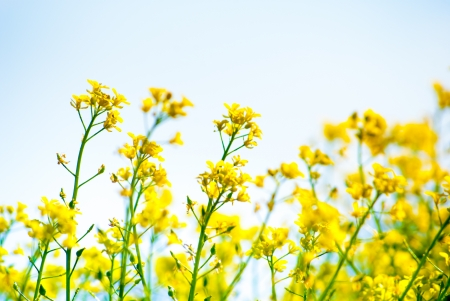 yellow rapeseed oil (canola)  on sunny day