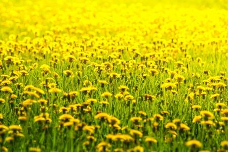 yellow dandelions in spring on a green lawn Standard-Bild
