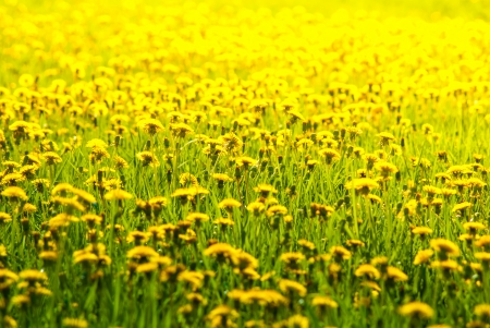 yellow dandelions in spring on a green lawn Stock Photo