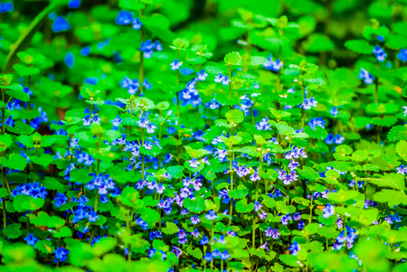 purple wildflowers with blue stripes in green grass Stock Photo