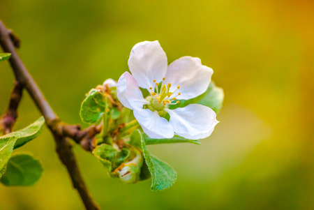apple blossom: white flower of a blooming apple tree, spring