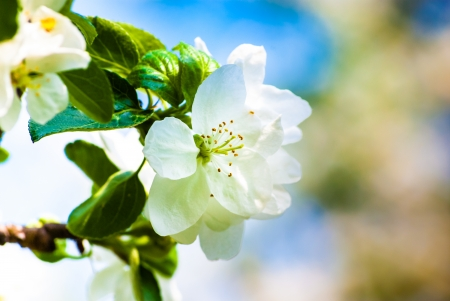 white flowers of a blooming apple tree