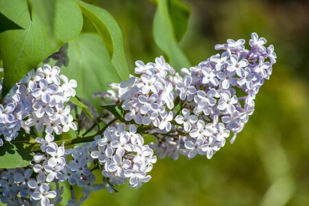syringa: white lilac in green leaves, outdoors, macro
