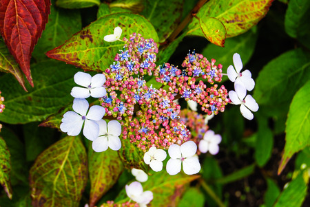Viburnum tinus, spring flowers on high bush photo